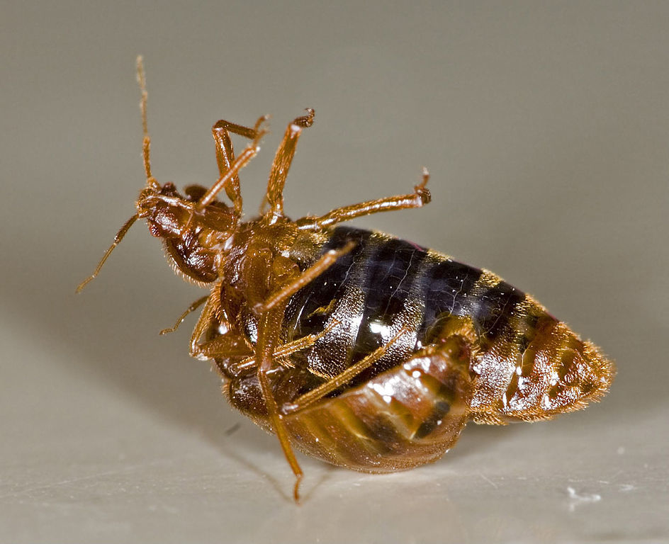 bed bug are
