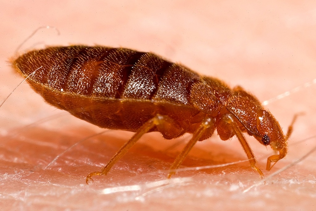 adult-bed-bugs-bite