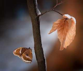 butterfly-leaves