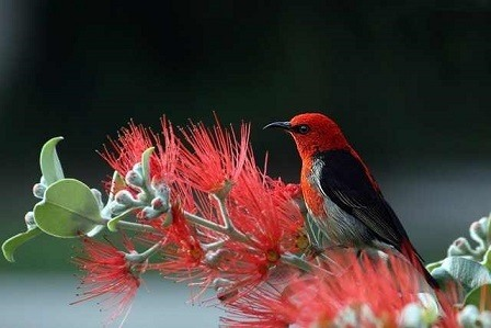 scarlet-honeyeater-bird-red-feathers