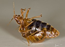 Dead Bed Bugs: Look Like, Find, Treatment, Clean Up, Eggs (Edited)