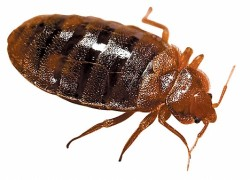 Are Bed Bug Bites Itchy? Symptoms, Treatment (Edited)